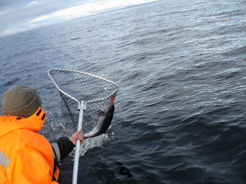 как ловят лососевые в море